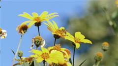 Jerusalem Artichoke Bee Blue Sky Stock Footage