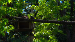 White headed marmoset in the forest Stock Footage