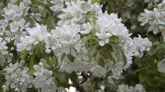 Blooming apple tree in spring Stock Footage