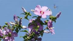 Bee Hawk Hibiscus Stock Footage
