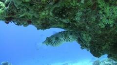 Yellowspotted burrfish - Cyclichthys spilostylus Stock Footage