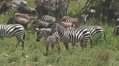 Wildebeest and Zebra migration, lock shot in high angle Stock Footage