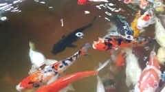 Koi fishes swimming in pond Stock Footage