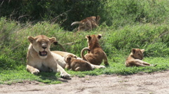African Lion cubs, different ages, one is suckling Stock Footage