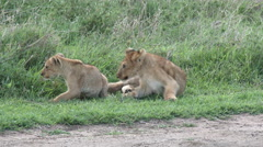Lion cubs (Panthera leo) playing together on the savanna Stock Footage