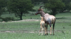 Topi (Damaliscus korrigum) with young, tracking shot Stock Footage