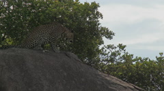 Leopard (Panthera pardus) on Koppie, lock shot in low angle Stock Footage