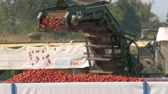 OLTREPO PAVESE, PV, ITALY - AUGUST 8:  Tomatoes on a conveyor belt being loaded  Stock Footage