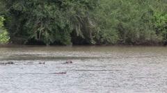 Wild Hippo in African river water hippopotamus (Hippopotamus amphibius) Stock Footage