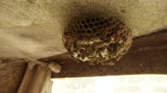 A Plurality of Striped Wasps Crawling Along a Honeycomb on the Ceiling Closeup Stock Footage