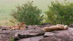2 LION CUBS MOTHER ON ROCKS MAASAI MARA KENYA Stock Footage