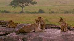ALERT LIONESS CUBS ON ROCKS MAASAI MARA KENYA Stock Footage