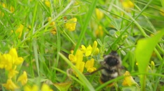 Clumsy bumble bee collects nectar from yellow flowers, slow motion 500fps Stock Footage