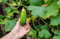 Female hand plucks a ripe cucumber from garden bed on rainy day Stock Photos