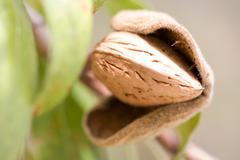 Close up of ripe almond (Prunus dulcis) in tree - stock photo