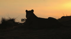 Lion in early morning silhouetted Stock Footage