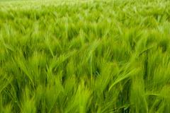 Full frame view of green barley field - stock photo