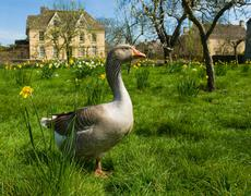 Portrait of goose in front of farmhouse Stock Photos