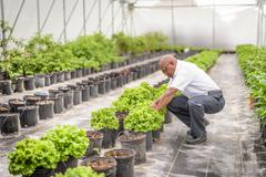 Manager inspecting lettuce plants in Hydroponic farm in Nevis, West Indies Stock Photos
