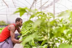 Worker inspecting bell pepper plants in Hydroponic farm in Nevis, West Indies - stock photo