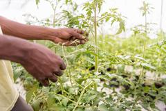 Worker removing tomato plants side shoots in Hydroponic farm in Nevis, West - stock photo
