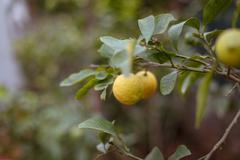 Lemon on branch of tree Stock Photos
