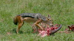 BLACK-BACKED JACKAL KILL MAASAI MARA KENYA AFRICA Stock Footage