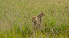 CHEETAH CUBS LONG GRASS MAASAI MARA KENYA AFRICA Stock Footage