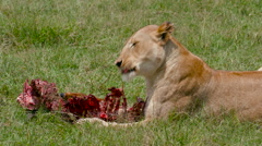 LIONESS WITH KILL MAASAI MARA KENYA AFRICA Stock Footage