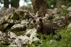 Portrait of brown bear cub (Ursus arctos) in forest, Markovec, Slovakia - stock photo