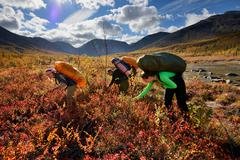 Three adult hikers picking berries, Khibiny mountains, Kola Peninsula, Russia Stock Photos