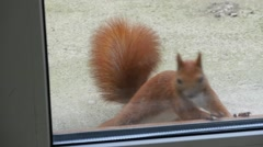 Squirrel Looks Through The Window Stock Footage