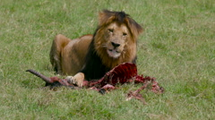 MALE LION WITH KILL MAASAI MARA KENYA AFRICA Stock Footage