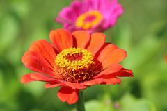 Cultivar annual Zinnia flowers in the sunny summer garden Stock Photos