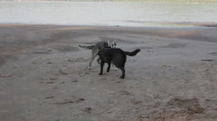 Animal Friends - two dogs playing on the beach Stock Footage