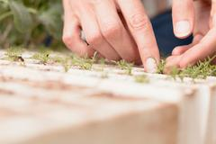 Woman tending to young plants in garden, close-up of hands Stock Photos