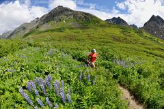 Woman running the Gold Mint Trail amongst mountain lupins, Talkeetna Mountains - stock photo
