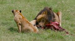 LION CUB MALE LION KILL MAASAI MARA KENYA AFRICA Stock Footage