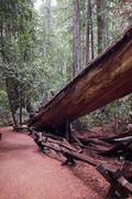 Fallen redwood in Armstrong Redwoods State Natural Reserve, Sonoma County, Stock Photos