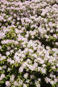 Close up of white and mauve flowering Rhododendron - Azalea shrub in spring Stock Photos
