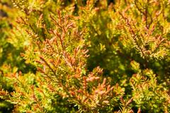 Close-up of orange and green Thuja occiidentalis (Fire Chief) - Eastern White Stock Photos