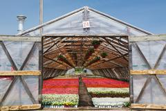 Opened doors on a wooden framed commercial greenhouse with white, pink and red - stock photo