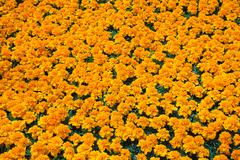 Packed orange Tagetes - Marigold flowers in containers in commercial greenhouse Stock Photos