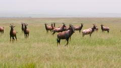 HERD OF TOPI MAASAI MARA KENYA AFRICA Stock Footage