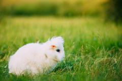 Blue Eyes Lop-Eared Dwarf Snow-White Mixed Breed Rabbit Bunny Sitting Stock Photos