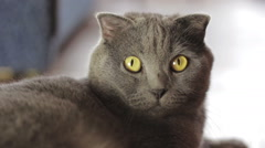 British Blue cat is at home Stock Footage