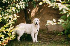 Yellow Golden Labrador Retriever Dog With Half Open Jaws Mouth Stock Photos