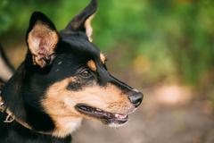 Portrait Of Small Size Mongrel Short-Haired Black Red Dog, Prick Stock Photos