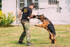 German shepherd Alsatian Wolf Dog dog training. Biting dog Stock Photos