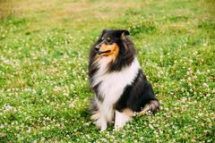 Tricolor Rough Collie, Scottish Collie, Long-Haired Collie Lassie Stock Photos